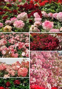 Das Bild Wird Geladen Rosen Set Rot Blumen Pflanzen Fuer Den Balkon