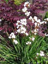 Libertia procera - 1 perennial plant in 9cm pot