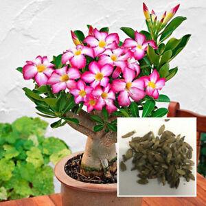 """New! Adenium Obesum Desert Rose /""""Tinkerbell/"""" 100 Seeds !!"""