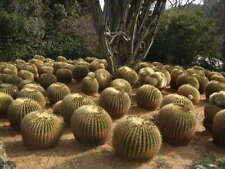 ECHINOCACTUS GRUSONII - GOLDEN BARREL CACTUS, 100 HIGH QUALITY SEEDS
