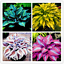 thumbnail 2 - Hosta-100-PCS-Seeds-Plants-Bonsai-Flower-Easy-To-Grow-Home-Garden-NEW-2021-Hosta