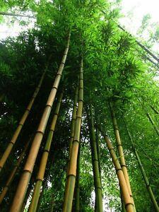 Goldener Bambus Samen Deko Winterharte Bambussorten Bambusarten Für