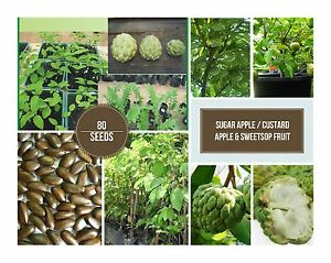 120-SUGAR-APPLE-CUSTARD-APPLE-amp-SWEETSOP-FRUIT-SEEDS-FROM-HOME-COLLECTION