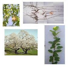 3 Apricot Trees: 8+inch, Fast Growing Edible Fruit, Last Chance - Limited Time
