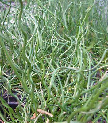 CORKSCREW RUSH * Juncus filiformis SPIRALIS * ORNAMENTAL GRASS * BOG MARSH SEED