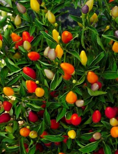 Chilli ornemtal mixed 10 seeds