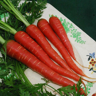 VEGETABLE  CARROT ATOMIC RED   2500 FINEST SEEDS