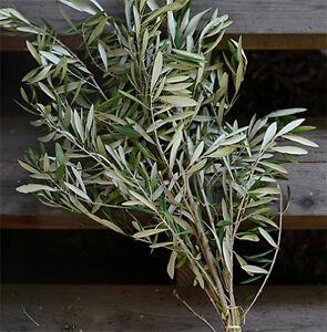Fresh-Olive-Branch-Bundle