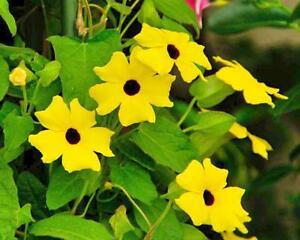 Thunbergia alata Sunrise White 10 seeds FREE SHIP