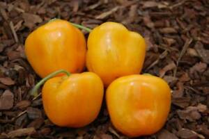 Orange-Rocoto-Chili-5-Samen-Saatgut-Seeds-Gemuesesamen