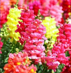 SNAPDRAGON-MIX-Antirrhinum-Majus-Maximum-7000-seeds-ANNUAL-FLOWER