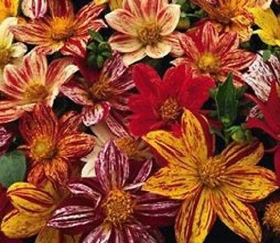 NEW!  20+ FIREWORKS DAHLIA FLOWER SEED MIX HARDY ANNUAL