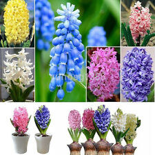 300Pcs Real Hyacinth Seeds Easy To Grow Mixed Color Flower Seeds Home Garde L3H7