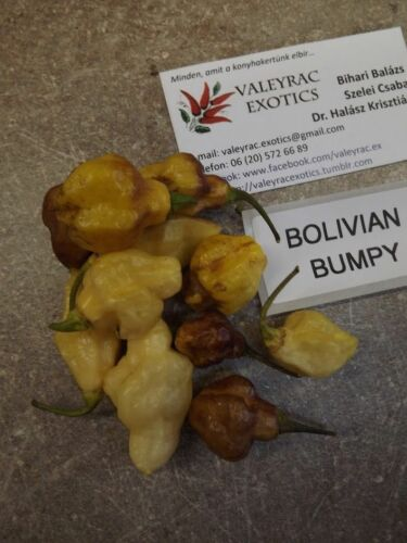 10 COLOURFUL and BUMPY! seeds Bolivian Bumpy Chili