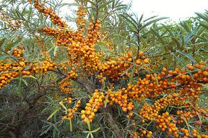 Winterhart-Pflanzen-Samen-exotische-Saatgut-Zierpflanze-Strauch-SANDDORN