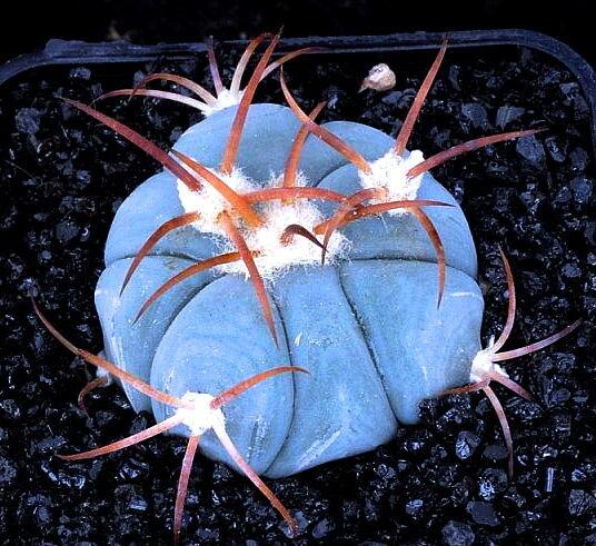 1 PLANT Echinocactus horizonthalonius (1cm) blue rare cactus no ariocarpus
