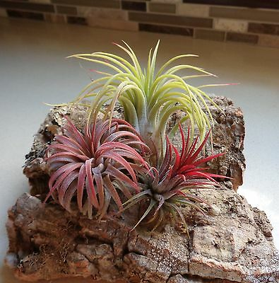 SALE Tillandsia Ionantha Assorted 3 Pack