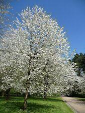 Wild Cherry Tree-Prunus avium - 15 semillas-Árbol Frutal-cobertura
