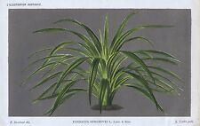 1886 PANDANUS KERCHOVEI Antique Botanical Print LINDEN