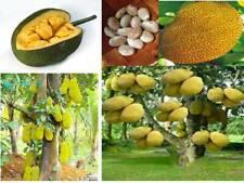Jackfruit Tropical Seeds Plants Fruit 100/% Germination Garden Fresh 12pcs