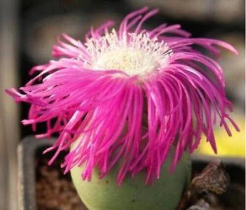 Argyroderma delaetii @ rare mesemb flowering living stones cactus seed 100 SEEDS