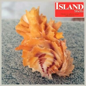 ORANGE-Chama-lazarus-4-65-3mm-EXQUISITE-BEAUTY-from-the-Philippines