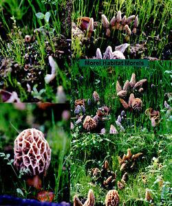 Morel Mushroom Spores in wood shavings Michigan Grown Actual Morel Inside