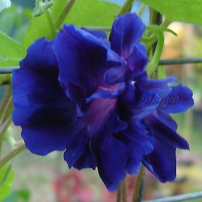 HIGE   Purple Crushed Velvet   Deep Dark Purple Morning Glory   10 Seeds