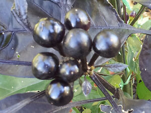 Black-Pearl-Chilli-Australian-Grown-One-of-the-most-Beautiful-Chilli-Variety