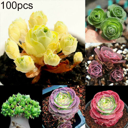 100Pcs Mixed Color Greenovia Potted Plant Succulents Seeds Garden Bonsai Decor