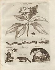 1797 GEORGIAN PRINT ~ MYRTUS PIMENTA MYXINE ANT-EATER MYRMECOPHAGA