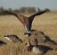 Avery-GHG-Greenhead-Gear-SUPER-Flag-Canada-Goose-Hunting-Duck-Decoys-Power thumbnail 7