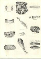 1854 Engravings Razor Shells Pholas Slolen Bivalves