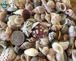 """130+ SMALL SEA SHELLS .5"""" TO 1.25"""" TALL - 1 CUP - LARGE VARIETY - CRAFTING"""