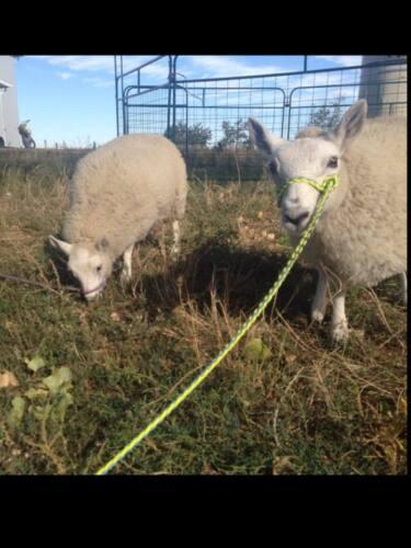small livestock halter goat sheep alpaca hot pink goat halter