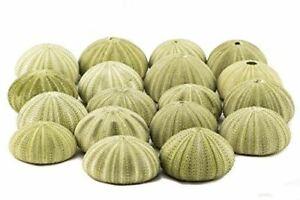 Sea-Urchin-Green-Sea-Urchin-Shells-1-3-4-034-2-1-2-034-18-Pack-for-Craft-amp-Decor
