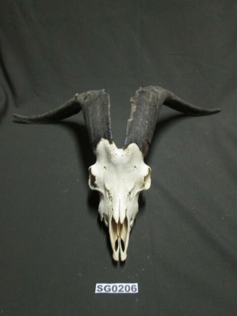Ibex goat skull hill country outdoors rustic decor SG0206