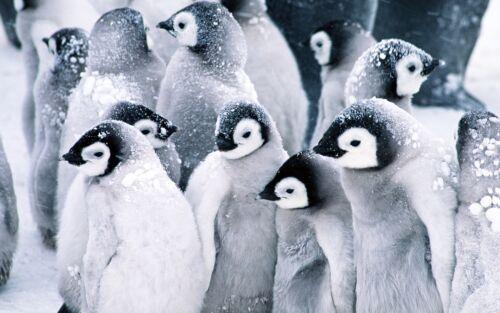 Penguin Poster Animal Art Print A3 Size Snow Ice