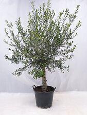 "Olivenbaum ""Olea europea"" Hochstamm 160/190 cm - kräftiger Stamm 27 cm Umfang"