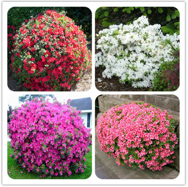 100 Pcs Bag Japanese Azalea Seeds Rhododendron Azalea Flower Seeds Tree Seeds S For Sale Online