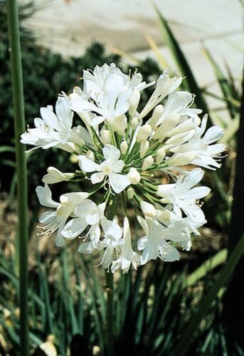 Live /& Fully Rooted Plugs Agapanthus Getty White Blooming Groundcover