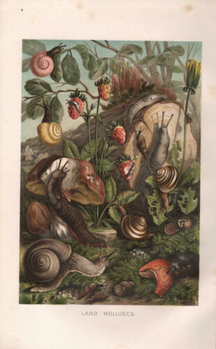 1895 VICTORIAN NATURAL HISTORY PRINT LAND MOLLUSCS WITH KEY SNAILS SLUGS HELIX