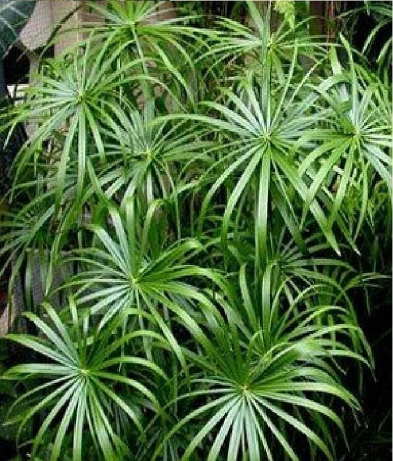 Image 01 - Umbrella Palm - 50 Seeds (Bog, Container, Pond plant)