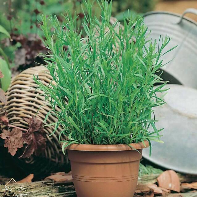 Seeds Herb Tarragon Tarkhun Medicinal Plant Herb Wild Organic Pickling Ukraine