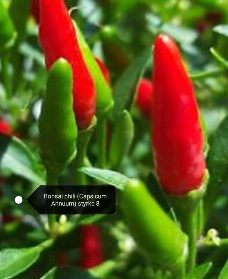 Frø, Bonsai chili (Capsicum Annuum) styrke 8