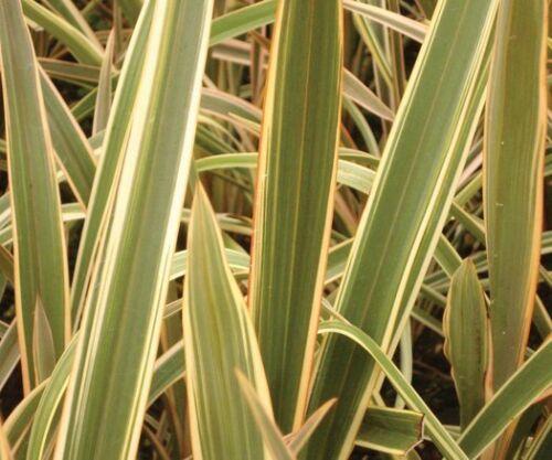 Phormium Tenax Variegatum G440 SEEDS 15 graines Lin de Nouvelle Zélande Panaché