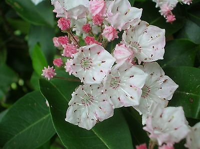 MOUNTAIN LAUREL * Kalmia latifolia * EVERGREEN EASTERN NATIVE SHRUB * SEEDS