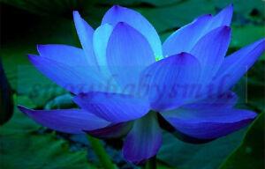 10 Lotus Bleu Graines Nelumbo Nucifera Bassin Aquarium Fleur Eau