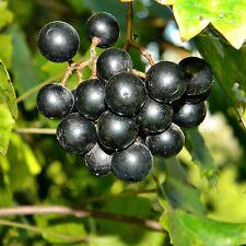 6 graines de MUSCADINE(Vitis Rotundifolia)H459 MUSCADINE GRAPE SEEDS SAMEN SEMI