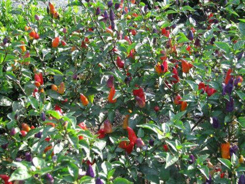 Ecuadorian Purple Chili 5+ Samen Seeds Gemüsesamen Seeds Graines Saatgut